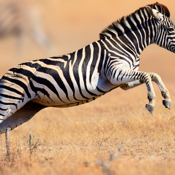 Zebra leaping in the air